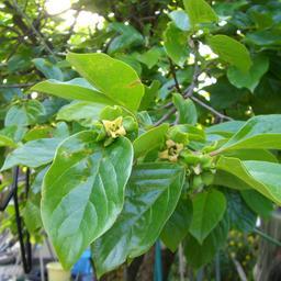 Fleurs de plaqueminier. Source : http://data.abuledu.org/URI/5670b7dd-fleurs-de-plaqueminier