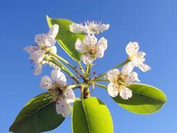 Fleurs de poirier en mars. Source : http://data.abuledu.org/URI/532646d3-fleurs-de-poirier-en-mars
