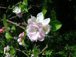 Fleurs de pommier. Source : http://data.abuledu.org/URI/5342805e-fleurs-de-pommier