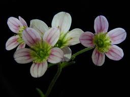 Fleurs de saxifrages. Source : http://data.abuledu.org/URI/54b2d08d-fleurs-de-saxifrages