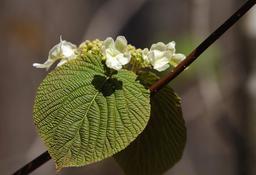 Fleurs de viorne. Source : http://data.abuledu.org/URI/58dd7a0c-fleurs-de-viorne