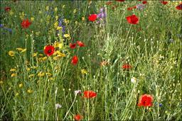 Fleurs des champs au printemps. Source : http://data.abuledu.org/URI/5171a270-fleurs-des-champs-au-printemps