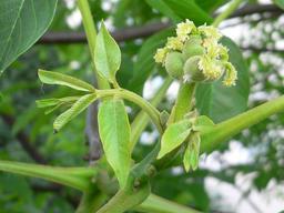 Fleurs et jeunes fruits de noyer. Source : http://data.abuledu.org/URI/518adf5f-fleurs-et-jeunes-fruits-de-noyer