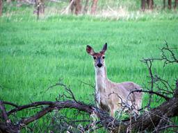Cerf élaphe. Source : http://data.abuledu.org/URI/503f6853-flickr-furryscaly-doe-a-deer-jpg