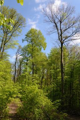 Forêt autichienne au printemps. Source : http://data.abuledu.org/URI/5652c461-foret-autichienne-au-printemps