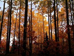 Forêt d'érables au Canada. Source : http://data.abuledu.org/URI/511574e1-foret-d-erables-au-canada