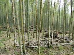 Forêt de bambous à Taïwan. Source : http://data.abuledu.org/URI/513af3ef-foret-de-bambous-a-taiwan