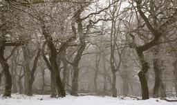 Forêt de chênes en hiver. Source : http://data.abuledu.org/URI/5064aa91-foret-de-chenes-en-hiver