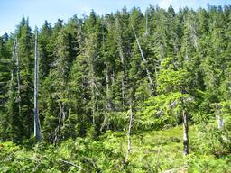 Forêt de cyprès en Alaska. Source : http://data.abuledu.org/URI/513a0a11-foret-de-cypres-en-alaska