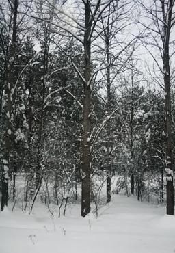 Forêt polonaise en hiver. Source : http://data.abuledu.org/URI/54cbc9e3-foret-polonaise-en-hiver