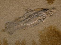 Fossile de cœlacanthe du Jurassique. Source : http://data.abuledu.org/URI/56ca2bd0-fossile-de-coelacanthe-du-jurassique