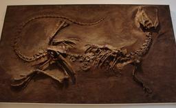Fossile de Dilophosaurus. Source : http://data.abuledu.org/URI/51229795-fossile-de-dilophosaurus