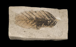 Fossile de feuille de hêtre. Source : http://data.abuledu.org/URI/5064bd95-fossile-de-feuille-de-hetre