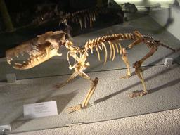Fossile de hérisson géant. Source : http://data.abuledu.org/URI/5857076c-fossile-de-herisson-geant