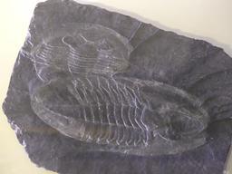 Fossile de Trilobite. Source : http://data.abuledu.org/URI/58b34230-fossile-de-trilobite