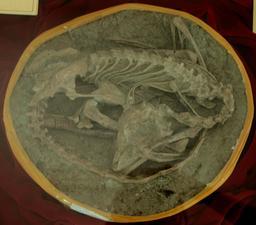 Fossile du dinosaure Meilong. Source : http://data.abuledu.org/URI/53392b60-fossile-du-dinosaure-meilong