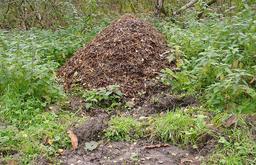 Fourmilière en forêt. Source : http://data.abuledu.org/URI/534b890f-fourmiliere-en-foret