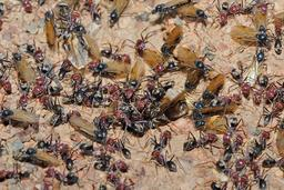 Fourmis en phase ailée. Source : http://data.abuledu.org/URI/534b886c-fourmis-en-phase-ailee
