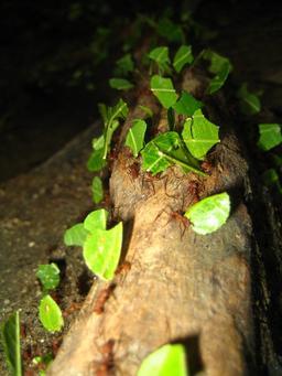 Fourmis tropicales en Colombie. Source : http://data.abuledu.org/URI/534b8442-fourmis-tropicales-en-colombie