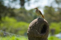 Fournier roux posé sur son nid de boue sèche. Source : http://data.abuledu.org/URI/5501fad7-fournier-roux-pose-sur-son-nid-de-boue-seche