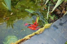 Frai de poissons rouges 4. Source : http://data.abuledu.org/URI/520877ce-frai-de-poissons-rouges-4