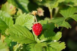 Fraise des bois. Source : http://data.abuledu.org/URI/501cf672-fraise-des-bois
