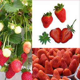 Fraises. Source : http://data.abuledu.org/URI/50894051-fraises
