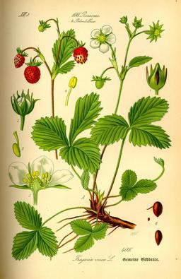 Fraises de bois. Source : http://data.abuledu.org/URI/518a81dd-fraises-de-bois