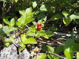 Fraises des bois. Source : http://data.abuledu.org/URI/518a88e4-fraises-des-bois