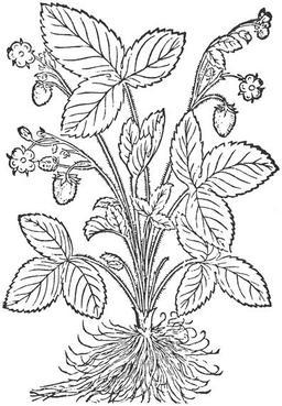Fraisier de Hieronymus Bock. Source : http://data.abuledu.org/URI/50983772-fraisier-de-hieronymus-bock