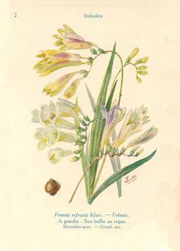 Fréesias de jardin. Source : http://data.abuledu.org/URI/53ad65f6-freesias-de-jardin