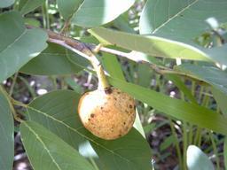 Fruit d'Annona senegalensis dans l'arbre. Source : http://data.abuledu.org/URI/54871166-fruit-d-annona-senegalensis-dans-l-arbre