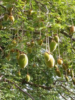 Fruits de baobab. Source : http://data.abuledu.org/URI/5487085c-fruits-de-baobab