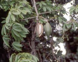 Fruits de kapokier. Source : http://data.abuledu.org/URI/5489fb91-fruits-de-kapokier