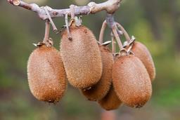 Fruits de kiwi suspendus à une branche. Source : http://data.abuledu.org/URI/52b0b790-fruits-de-kiwi-suspendus-a-une-branche