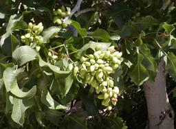 Fruits de pistachier en début de mâturation. Source : http://data.abuledu.org/URI/534a6bbd-fruits-de-pistachier-en-debut-de-maturation