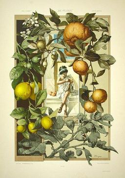 Fruits et fleurs de citronniers. Source : http://data.abuledu.org/URI/50fac891-fruits-et-fleurs-de-citronniers