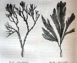 Fucus vesiculosus et Fucus Serratus. Source : http://data.abuledu.org/URI/56bb9a8b-fucus-vesiculosus-et-fucus-serratus