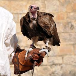 Gant de fauconnier. Source : http://data.abuledu.org/URI/50fdc439-gant-de-fauconnier