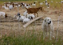 Gardien de troupeau de chèvres. Source : http://data.abuledu.org/URI/51607c83-gardien-de-troupeau-de-chevres