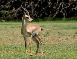 Gazelle. Source : http://data.abuledu.org/URI/5087e2ae-gazelle