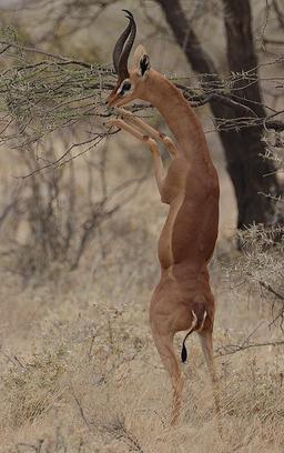 Gazelle de Waller mâle se nourrissant. Source : http://data.abuledu.org/URI/516c48f6-gazelle-de-waller-male-se-nourrissant