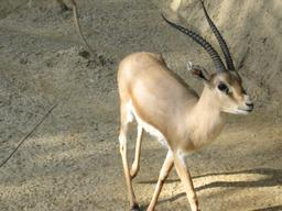 Gazelle des sables. Source : http://data.abuledu.org/URI/516c47e5-gazelle-des-sables
