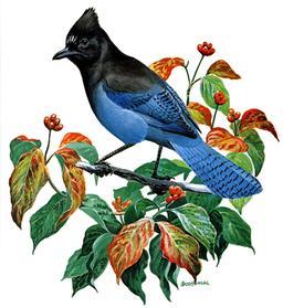 Geai bleu de Steller. Source : http://data.abuledu.org/URI/5384ba3d-geai-bleu-de-steller