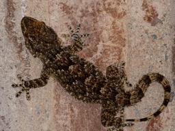 Gecko à Perpignan. Source : http://data.abuledu.org/URI/55ddf475-gecko-a-perpignan
