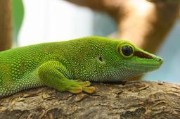 Gecko de Madagascar au Jardin des Plantes. Source : http://data.abuledu.org/URI/54fe1be1-gecko-de-madagascar-au-jardin-des-plantes