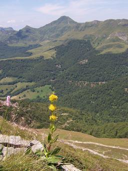 Gentiane jaune en montagne. Source : http://data.abuledu.org/URI/505cb0ff-gentiane-jaune-en-montagne
