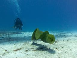 Murène javanaise à Cozumel. Source : http://data.abuledu.org/URI/5276e8e8-giant-moray-eel-gymnothorax-javanicus-cozumel-jpg