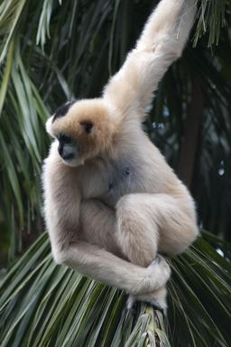 Gibbon. Source : http://data.abuledu.org/URI/50ead5a0-gibbon