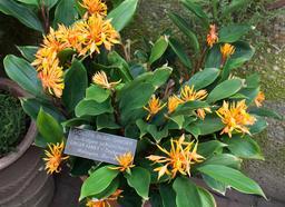 Gingembre doré en fleur. Source : http://data.abuledu.org/URI/51a66b76-gingembre-dore-en-fleur